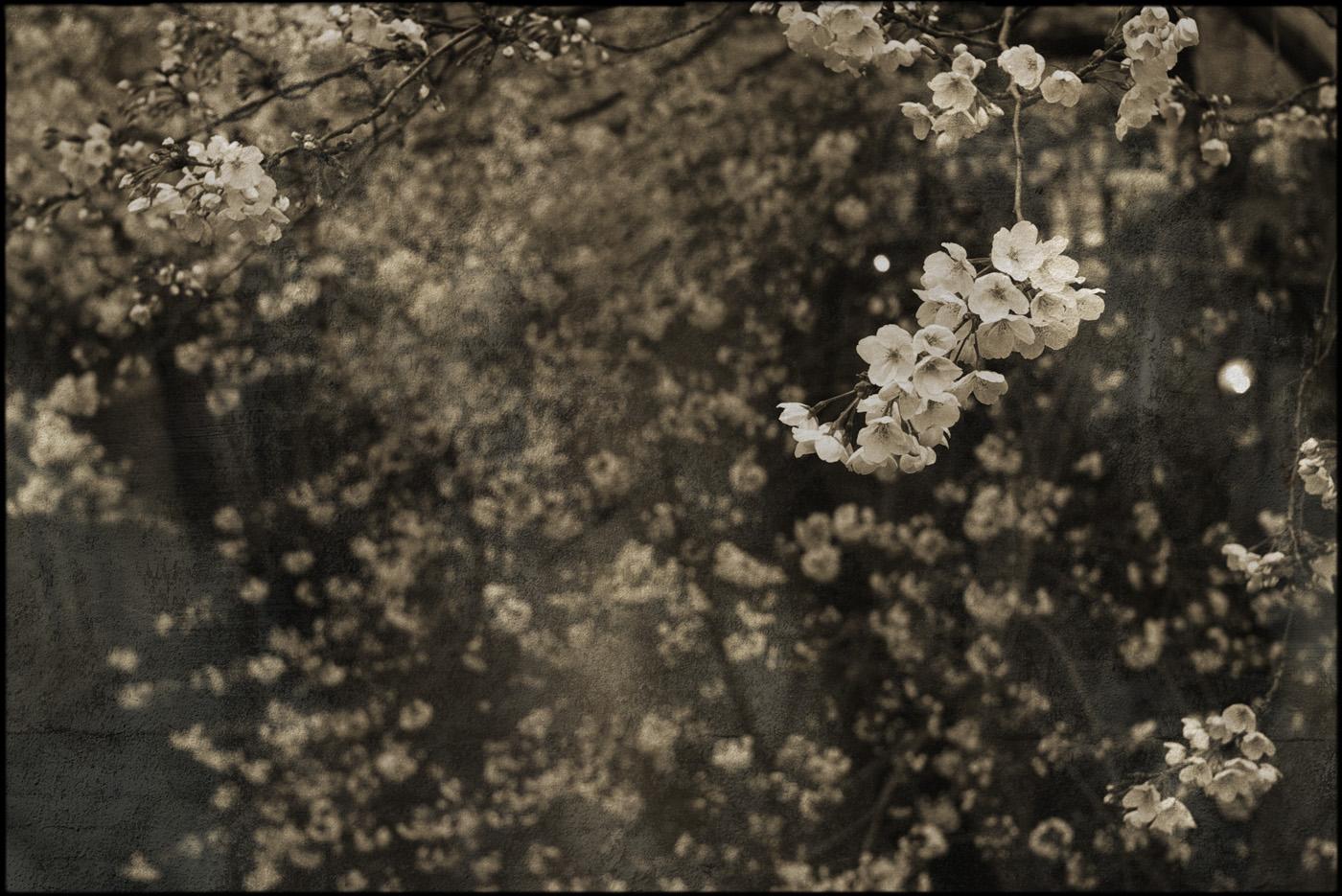 2010、目黒川の桜、その4。_c0120903_13351878.jpg