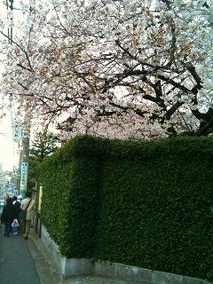 谷中で花見_a0036808_14204354.jpg