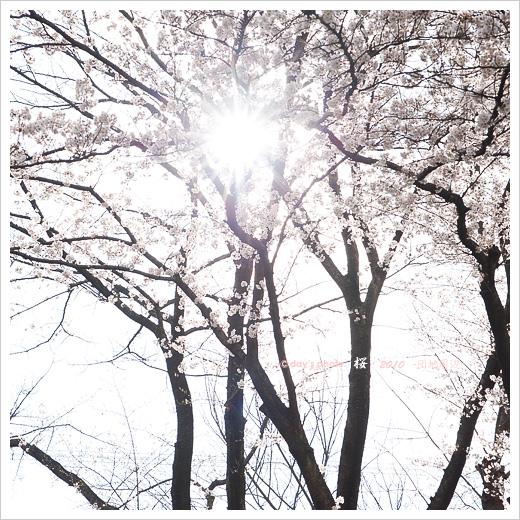 団地桜景 #03_e0117517_2075452.jpg