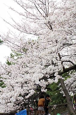 桜_f0170519_22294850.jpg