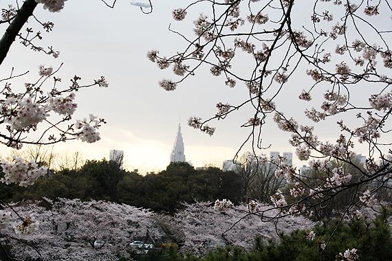 桜_f0170519_2229533.jpg