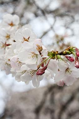 桜_f0170519_22301114.jpg