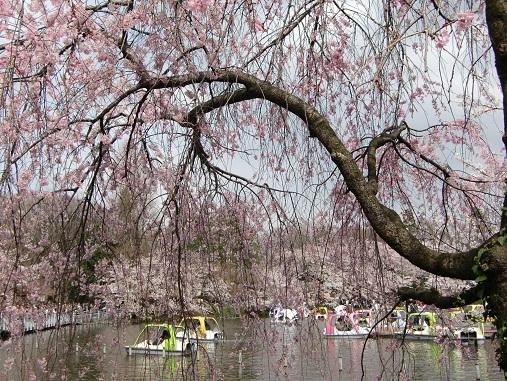 井之頭公園の桜~_c0079828_184224.jpg