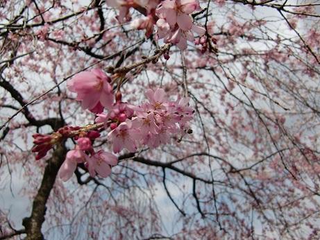 井之頭公園の桜~_c0079828_1853090.jpg