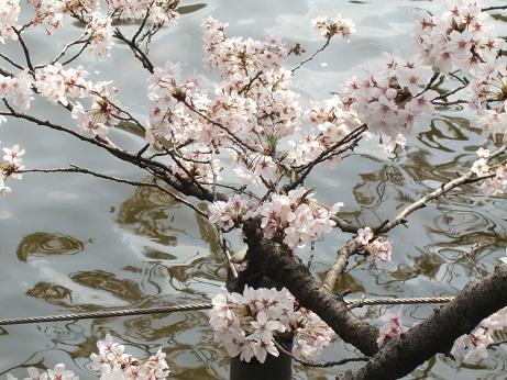 井之頭公園の桜~_c0079828_1863895.jpg