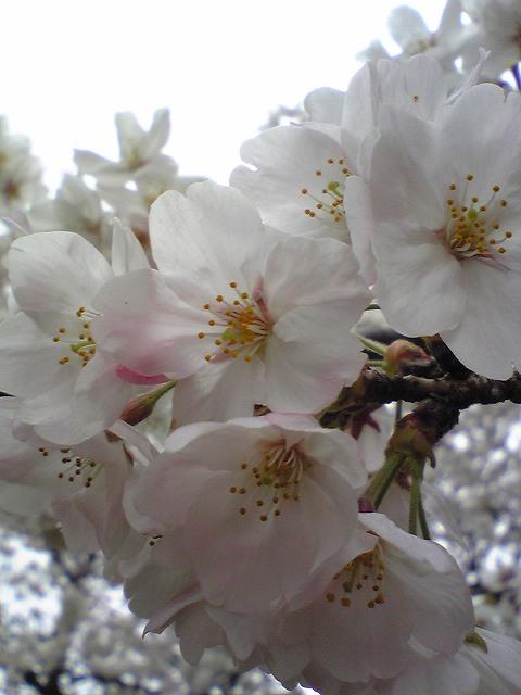お花見♪_f0099231_23295268.jpg