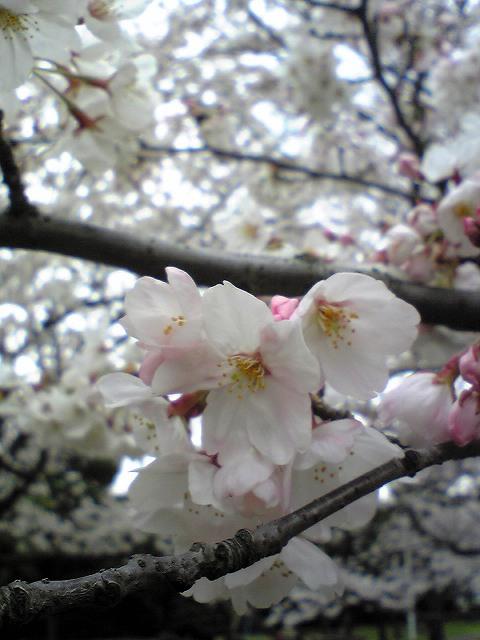 お花見♪_f0099231_233007.jpg