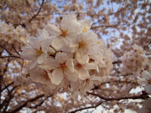 夜桜と太陽の塔!_a0165538_9423261.jpg
