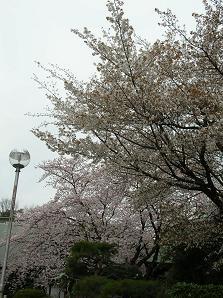 おひとりさまの花見 その二_f0139963_7172278.jpg