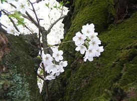 おひとりさまの花見 その二_f0139963_7243780.jpg