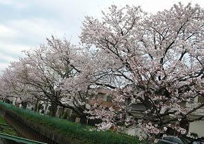 おひとりさまの花見 その二_f0139963_7245.jpg