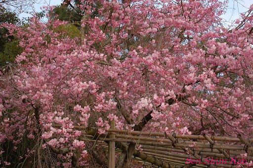加茂川の桜_a0164068_21362273.jpg