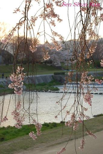 加茂川の桜_a0164068_21365177.jpg