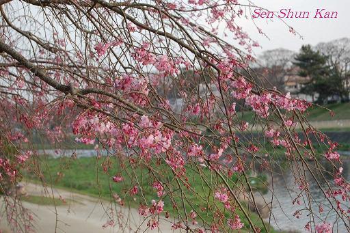 加茂川の桜_a0164068_21371726.jpg