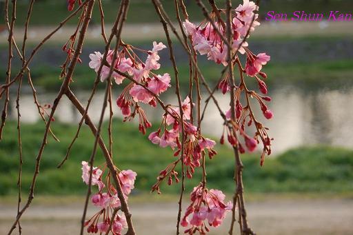 加茂川の桜_a0164068_21374511.jpg
