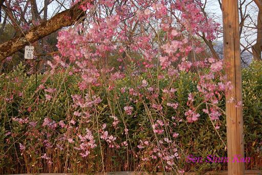 加茂川の桜_a0164068_2138185.jpg
