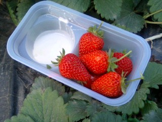 Strawberry picking!_e0159969_1936482.jpg