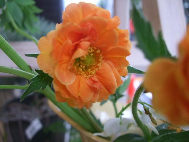 オークリーフ(赤いダイコン草と山吹とラナンキュラスの花束)_f0049672_16444291.jpg