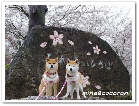 桜ださくら~_a0053987_2241413.jpg