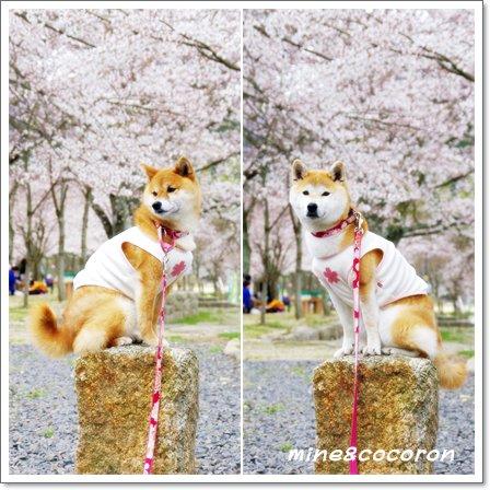 桜ださくら~_a0053987_22415785.jpg