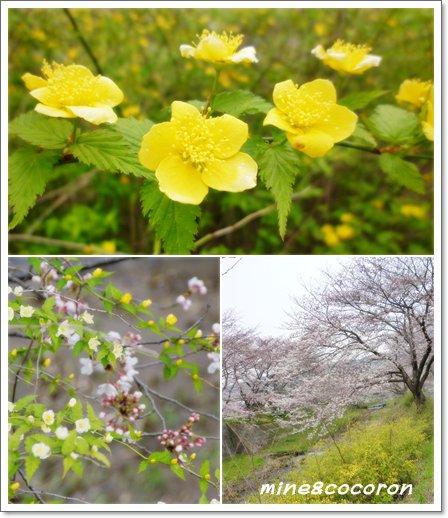 桜ださくら~_a0053987_22472168.jpg