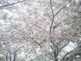 連日お花見が続いています_e0016894_21212168.jpg