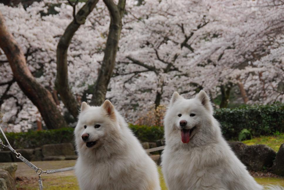 雪&桜~!_a0049296_2151419.jpg
