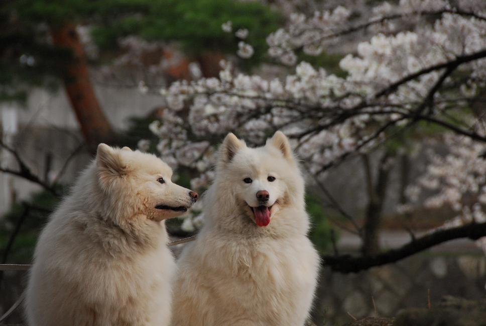 雪&桜~!_a0049296_215492.jpg