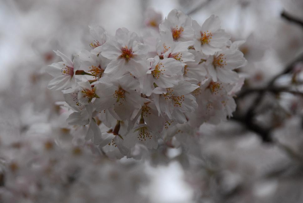 雪&桜~!_a0049296_216530.jpg