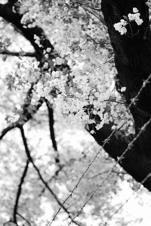 2010、恵比寿の桜、その3。_c0120903_221218.jpg