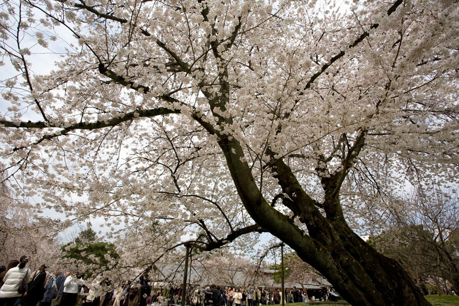 醍醐寺の桜2010 (3) _b0043304_2231477.jpg