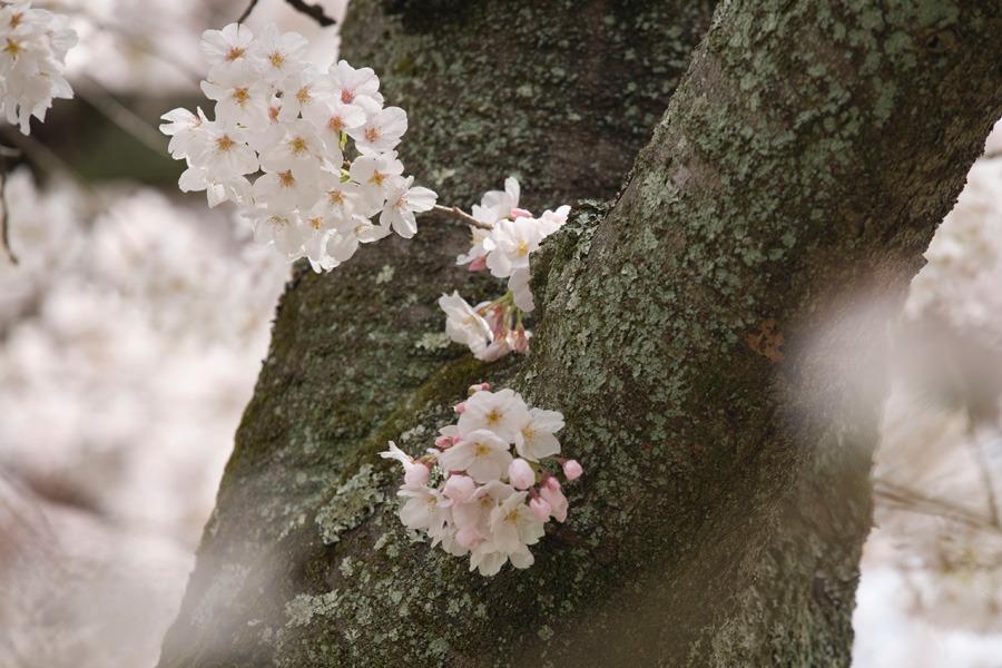 醍醐寺の桜2010 (3) _b0043304_22315064.jpg