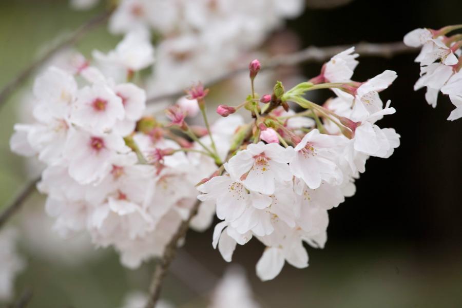醍醐寺の桜2010 (3) _b0043304_22324524.jpg