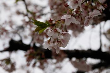 葉桜_a0148909_12473697.jpg
