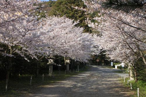 さくら満開 大石神社_e0048413_2201113.jpg
