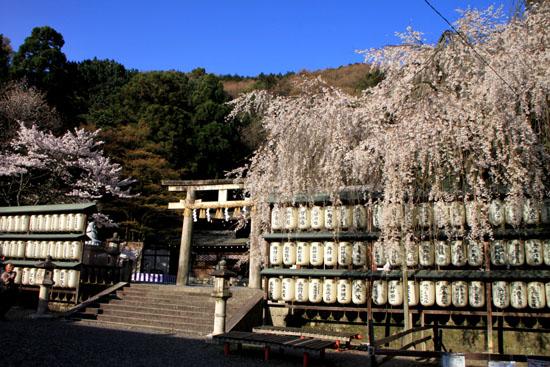 さくら満開 大石神社_e0048413_2202622.jpg