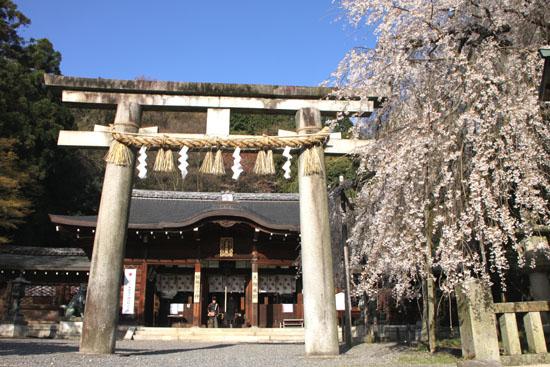 さくら満開 大石神社_e0048413_2204282.jpg