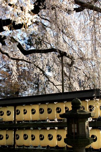 さくら満開 大石神社_e0048413_220576.jpg
