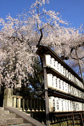 さくら満開 大石神社_e0048413_2233145.jpg