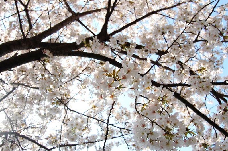 桜満開_f0150413_22421838.jpg