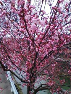 桜の開花状況です。  _d0144720_11125399.jpg