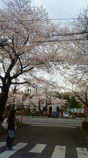 お花見 in 国立_a0153945_23101145.jpg