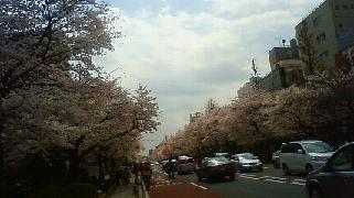 お花見 in 国立_a0153945_2391127.jpg