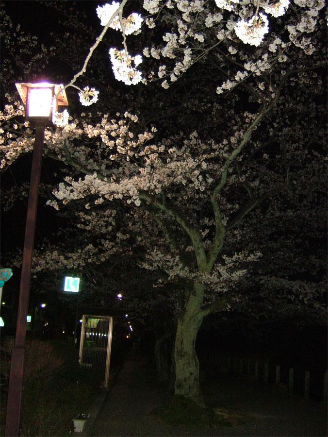 夜桜_c0110051_0231252.jpg