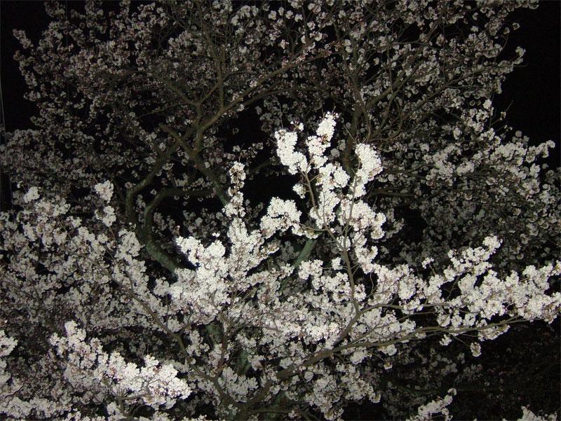 夜桜_c0110051_0232032.jpg