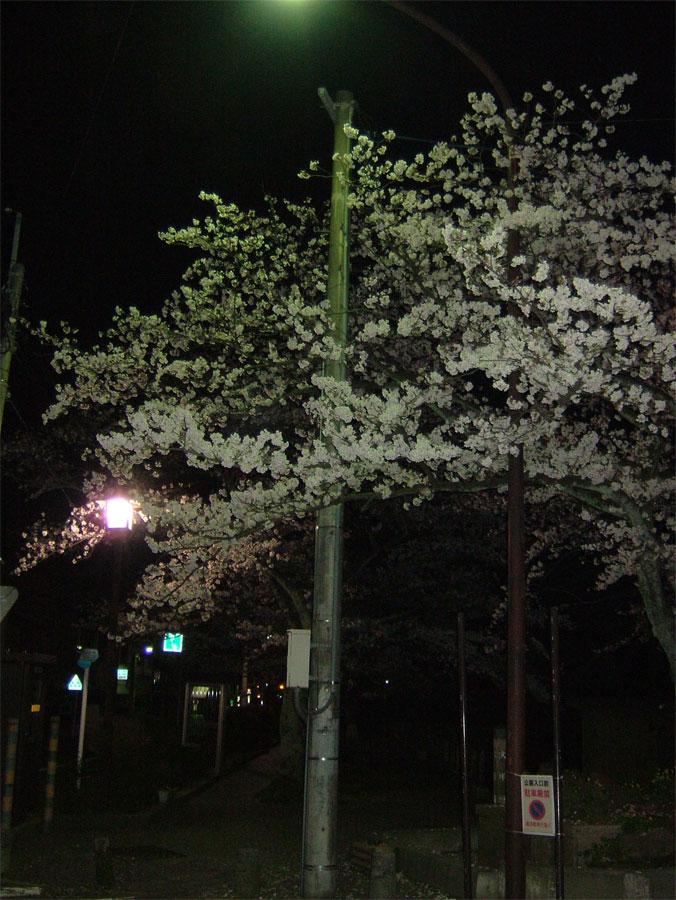 夜桜_c0110051_0232864.jpg