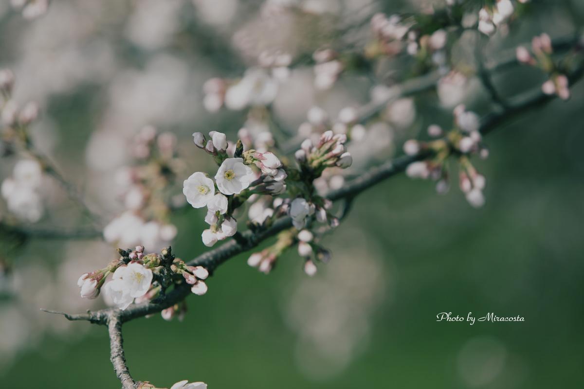 土手の桜も咲き始め_e0140159_22545484.jpg