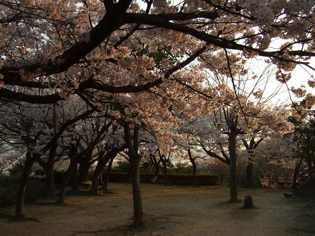 坂町横浜公園の桜 その1_b0095061_8104243.jpg