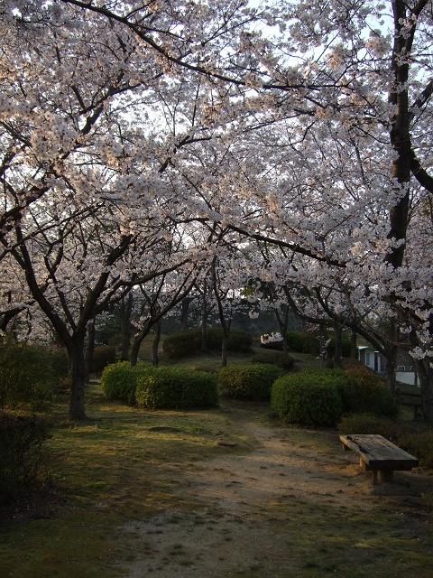 坂町横浜公園の桜 その1_b0095061_8122446.jpg