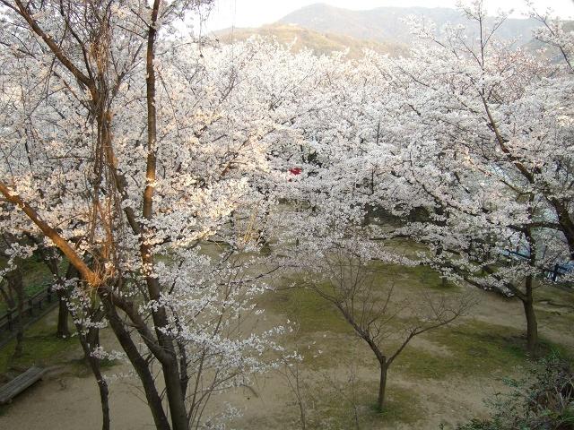 坂町横浜公園の桜 その1_b0095061_892247.jpg